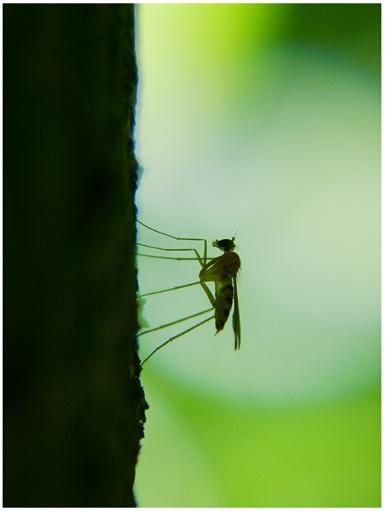 mosquito__s_contour